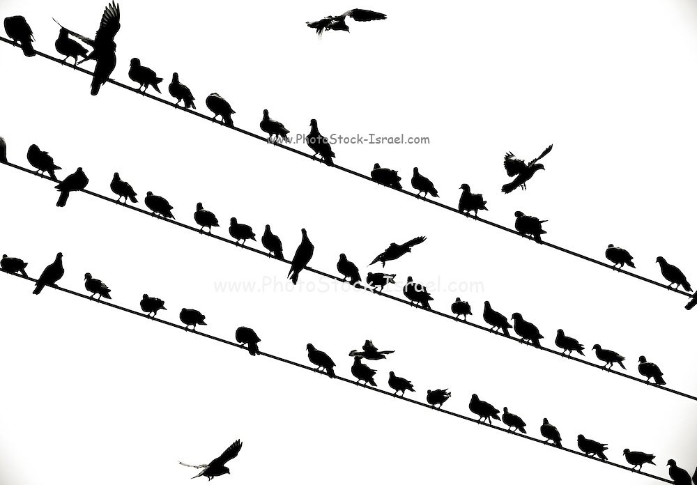 flock of birds on electric wire - black and white