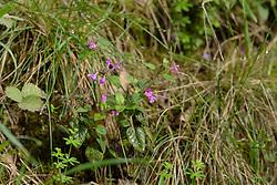 Borstelkrans, Clinopodium vulgare