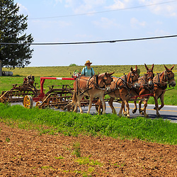 Gordonville, PA / USA - May 9, 2018: An Amish farmer uses a team of horses to pull machinery along a rural road in Lancaster County.