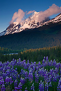 A field of lupine and Paradise Peak, Chugach National Forest, Alaska.