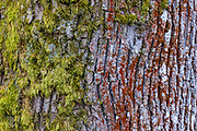 Colorful moss and lichen grow on the rough gray bark of an Oregon ash (Orthotrichum lyellii) tree in Marymoor Park, Redmond, Washington.