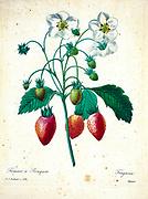 19th-century hand painted Engraving illustration of a flowering strawberry plant, by Pierre-Joseph Redoute. Published in Choix Des Plus Belles Fleurs, Paris (1827). by Redouté, Pierre Joseph, 1759-1840.; Chapuis, Jean Baptiste.; Ernest Panckoucke.; Langois, Dr.; Bessin, R.; Victor, fl. ca. 1820-1850.