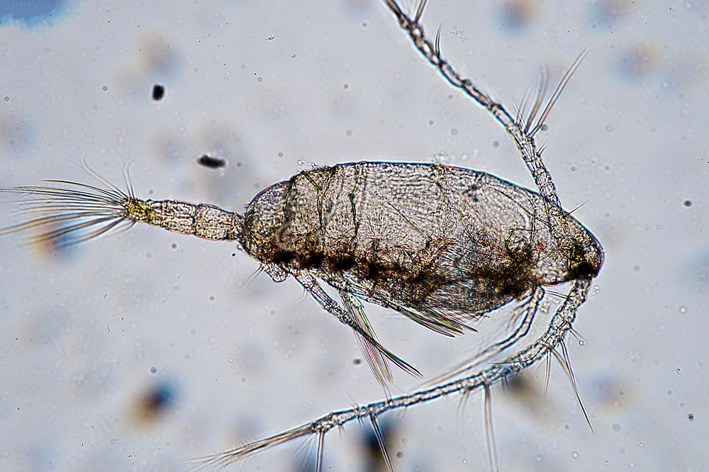 Planktoni crustacea from the genus Calanus collected in surface waters of south-western Norway.
