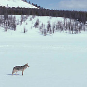 Coyote, (Canis latrans) Adult scavenging in valley for food. Yellowstone National Park. Winter.    Captive Animal.