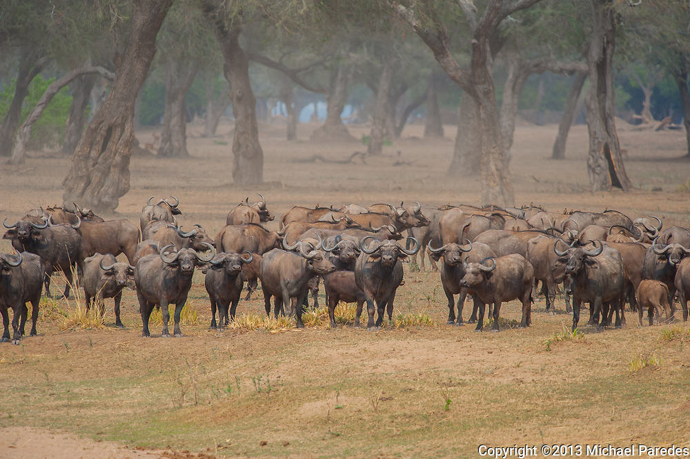 """This is the herd of buffalo that tried to save one of their own, who had been taken down by a pride of lion. Here, they admitted defeat and immediately after this was shot, retreated. *50% of the proceeds from sales of these photos taken at Mana Pools National Park in Zimbabwe will go to The Zambezi Society, a chartiy that supports the Zambezi Valley, which includes Mana Pools.  In 1982, this volunteer organization successfully lobbied against the proposed Mupata Gorge dam site on the Zambezi River, which would have flooded what is now Mana Pools National Park, making  the wildlife scenes in these photographs impossible. For more information, click """"50% Charity Pledge"""" at the top of this page, and thanks for helping to keep Mana Pools wild!"""