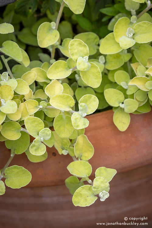 Helichrysum petiolare 'Gold'