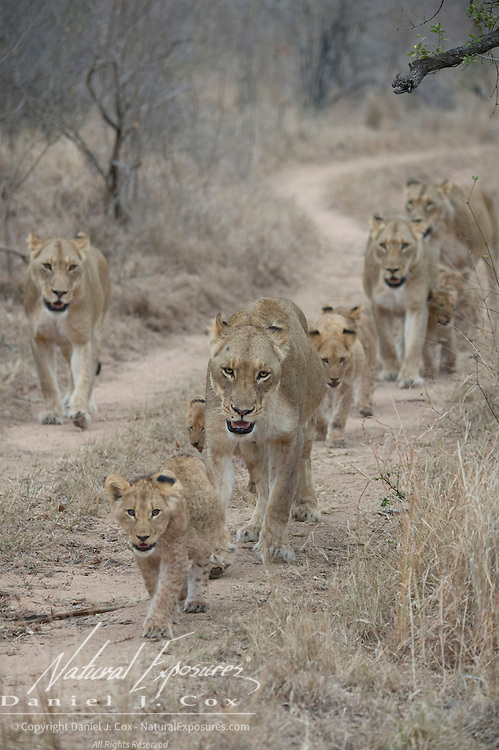 African lion (Panthera leo) mother and cubs walking. Londolozi Game Reserve, South Africa