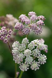 Umbellifer - possibly Seseli hippomaranthum?