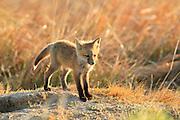 Red Fox kit at den, central Montana.