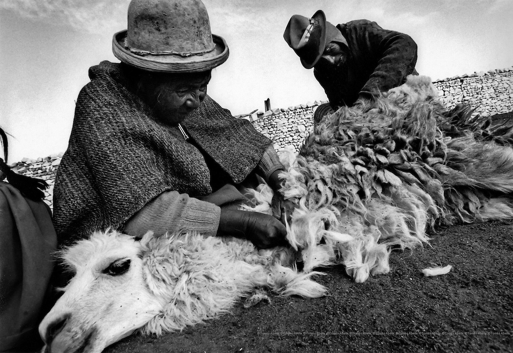 Shearing their llamas. Jesús de Machaca, Bolivian Altiplano.