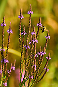 A Western honey bee (Apis mellifera) feeds on a purple flower.  <br /> <br /> The Western or European honey bee is the most common of the 7–12 species of honey bee worldwide, and one of the first domesticated insects.  It is the primary species maintained by beekeepers to this day for both its honey production and pollination activities. With human assistance, the western honey bee now occupies every continent except Antarctica. Because of its wide cultivation, this species is the single most important pollinator for agriculture globally. <br /> <br /> The Indian or Sacred Lotus has roots in the soil of the pond bottom, while the leaves float on top of the water surface or are held well above it. The flowers rise above the leaves and the plant normally grows to a height of about 150 cm (60 inches) and a horizontal spread of up to 3 meters (over 3 feet).  A single leaf may be as large as 60 cm (24 inches) in diameter, while the showy flowers can be up to 20 cm (8 inches) in diameter.  The lotus has a remarkable ability to regulate the temperature of its flowers to within a narrow range.  Lotus flowers have been shown to maintain a temperature of 30–35 °C (86–95 °F), even when the air temperature dropped to 10 °C (50 °F). The Lotus is one of only three species of known thermoregulating, heat-producing, plants. Lotus flowers, seeds, young leaves, and roots are all edible.  An individual lotus can live for over a thousand years and has the rare ability to revive into activity after stasis. In 1994, a seed from a sacred lotus, dated at roughly 1,300 years old ± 270 years, was successfully germinated.<br /> <br /> In Buddhist symbolism, the lotus represents purity of the body, speech, and mind as if floating above the muddy waters of attachment and desire. In classical written and oral literature of many Asian cultures, the lotus represents elegance, beauty, perfection, purity and grace.