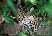 Margay, Felis wiedi, sitting in undergrouth of jungle, camouflaged, captive, Central America,.South America....