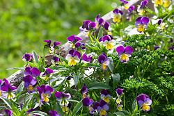 Viola tricolor. Heartsease