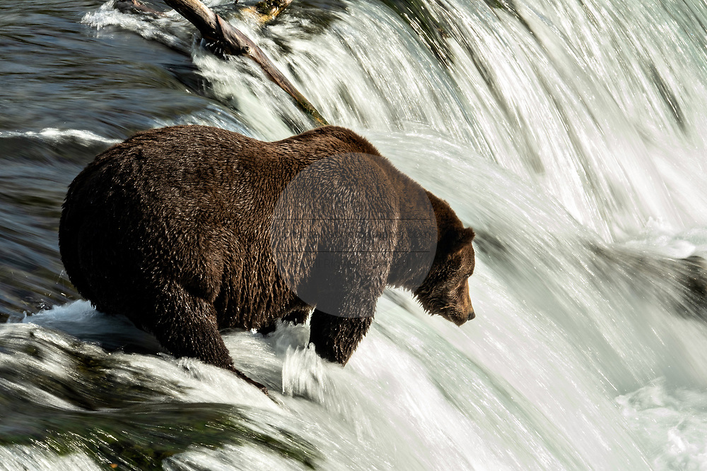 An adult female Brown Bear known as 151 Walker, searches for a Sockeye Salmon at the lip of Brooks Falls in Katmai National Park and Preserve September 15, 2019 near King Salmon, Alaska. The park spans the worlds largest salmon run with nearly 62 million salmon migrating through the streams which feeds some of the largest bears in the world.
