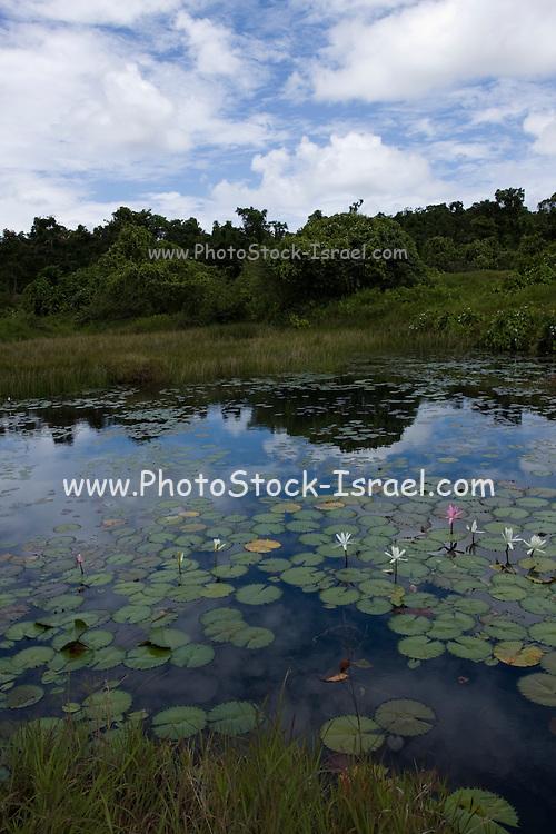Fiji, water lily pond