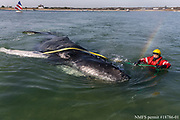 Brian Sharp, program director of the International Fund for Animal Welfare (IFAW)'s Marine Mammal Rescue and Research team, works to rescue a stranded juvenile humpback whale off of Chatham, Massachusetts, on Saturday. The team worked with the Chatham harbormaster to attempt to tow the whale out of shallow water as the tide quickly came in.  Initial rescue efforts were unsuccessful. The team will continue efforts on Sunday.  The general public is reminded to stay back from the whale and avoid flying drones in the area, for the safety of the whale and responders.  Thank you to the Chatham Harbormaster, Harwich Harbormaster, and Coast Guard Chatham for their support and efforts today. Julia Cumes/IFAW