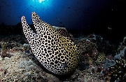 Honeycomb moray (Gymnothorax favagineus), side view of head and upper body, mouth open, sunburst in background, Madi Varu, South Ari Atoll