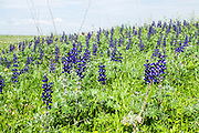 Blue Lupine (lupinus pilosus) spring flowering, north Israel
