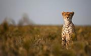 A regal portrait of a cheetah  (Acinonyx jubatus) , Ndutu, Ngorongoro Conservation Area, Tanzania, Africa