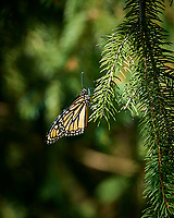 Monarch Butterfly on a Pine Tree. Image taken with a Nikon D5 camera and 70-200 mm f/2.8 lens (ISO 100, 200 mm, f/8, 1/250 sec)