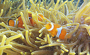 Clownfish dart in and out of an anemone near Dobu Island, Papua New Guinea. Research on clownfish has shown that elevated levels of carbon dioxide can alter how fish see, hear and smell, which can increase the likelihood of death.<br /> Steve Ringman / The Seattle Times