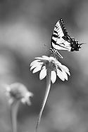 An Eastern Tiger Swallowtail Butterfly On A Flower, Papilio glaucus Linnaeus