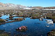 Landscape with Purple Saxifrage foreground, Saxifraga oppositifolia, Bromstrandhalvoya, Kongsfjord, Spitzbergen