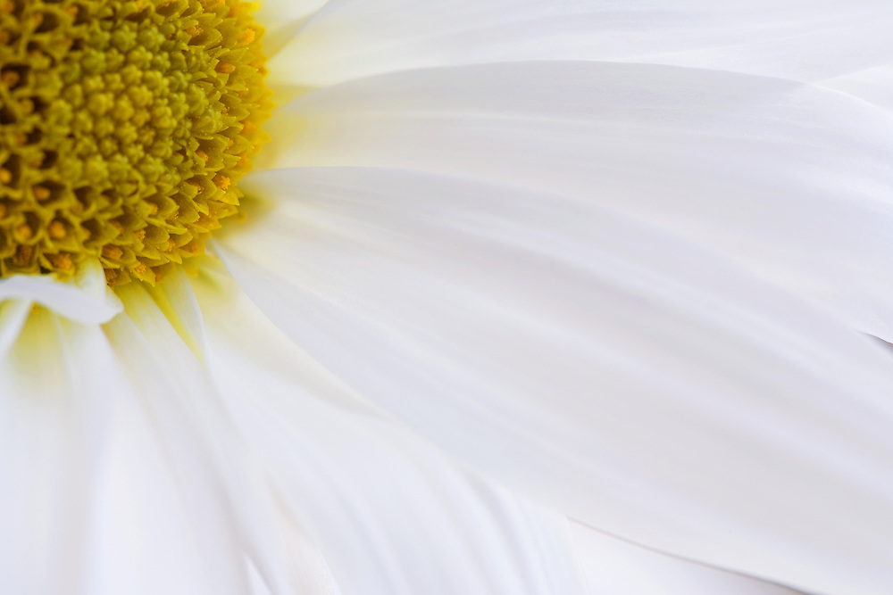 Close-up of a daisy flower without stem horizontal view.