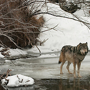 Gray Wolf (Canis lupus) standing on ice in a creek during winter in Montana. Captive Animal