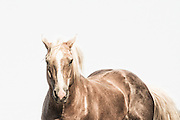 Grace is a print of a wild horse that shows the power and strength of the wild mustang as its hair shimmers in the sunlight in mid afternoon.