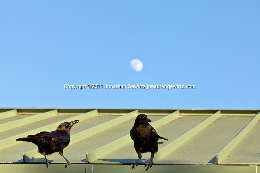 Two blackbirds or crows perched on the edge of a roof with the moon in the background. WATERMARKS WILL NOT APPEAR ON PRINTS OR LICENSED IMAGES.