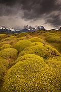 Rainstorm engulfs Cuernos del Paine peaks, thorny 'matabarrosa' ( Mulinum spinosum) in flower, Parque Nacional Torres del Paine, Patagonia, Chile.
