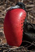 Great Frigatebird (Fregata minor) male<br /> North Seymour Island<br /> Galapagos Islands<br /> ECUADOR.  South America