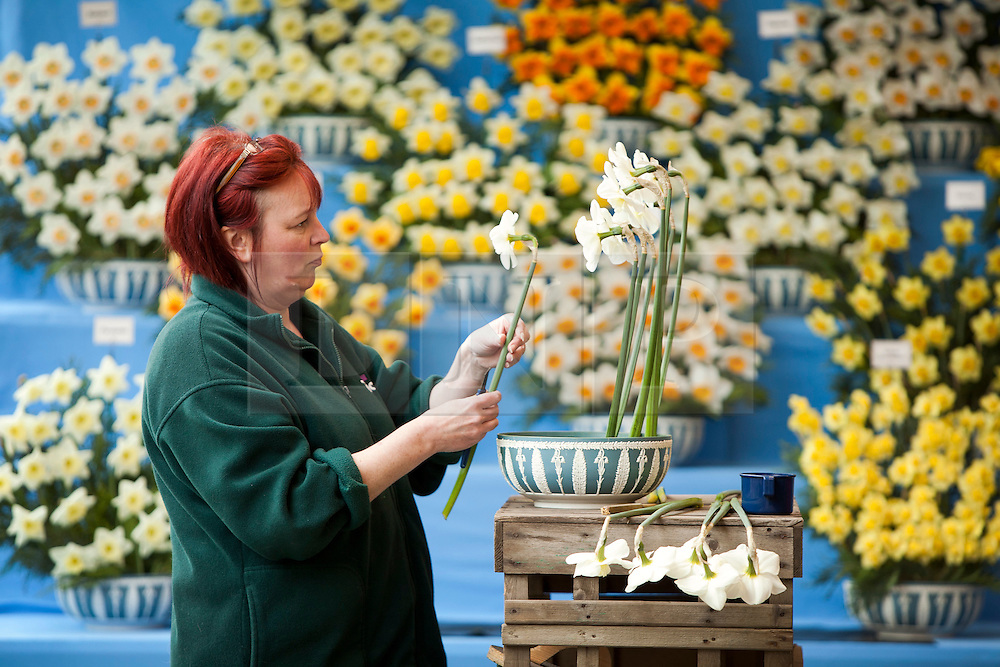 Harrogate Spring Flower Show . Final preparations are made ahead of the show opening tomorrow (26/4/12) and running until Sunday (29/4/12) . .© Licensed to London News Pictures. 25/04/12 Harrogate / Yorkshire / UK.  . Photo credit : Chris Bull/LNP