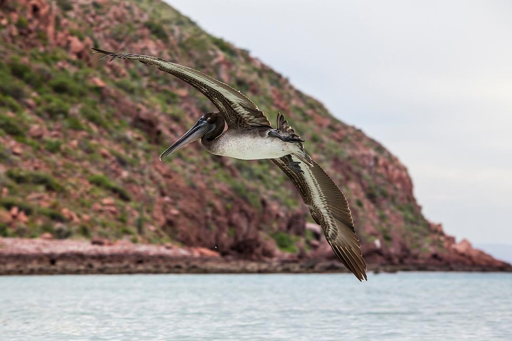 A solitary Brown Pelican flying off the coast of Isla Espirito Santo, BCS, Mexico.