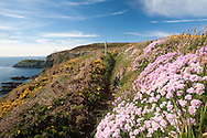 Thrift - Armeria maritima on the coastal path at South Stack, Anglesey, Wales