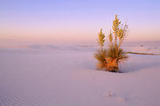 Yucca plant at sunset, White Sands National Park, New Mexico