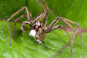 Hunting spider (Pisaura mirabilis). Close up of a male offering the female a wrapped prey as a 'gift' to distract her prior to mating. Grassy verge near water, Norfolk