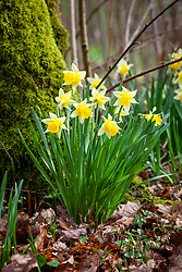Wild daffodils growing in a woodland.  Narcissus pseudonarcissus