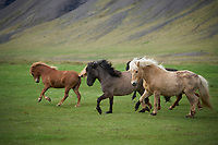 Icelandic horses running in Dýrafjörður, West fiords of Iceland.