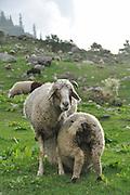 A herd of sheep and Goats near Jodhpur, Rajasthan, India