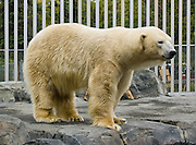 """A polar bear (Ursus maritimus) in the Alaska Zoo, Anchorage, Alaska, USA. Polar bears live mostly within the Arctic Circle, Arctic Ocean, and surrounding land. It is the world's largest land carnivore and the largest bear, together with the similar sized Kodiak Bear. Published in the book """"On Thin Ice: The Changing World of the Polar Bear"""" by Richard Ellis 2009, from Alfred A. Knopf and Random House."""