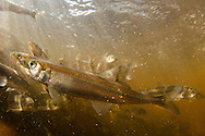 Rainbow Smelt<br />