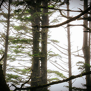 A forest of trees stand in mist and fog along the Pacific Coast on Second Beach in La Push, Washington.