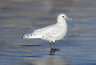 Ivory Gull - Pagophila eburnea - 1st winter. Length 41-45cm. An elegant and distinctive high Arctic gull. Adult has pure white plumage and black legs. The rounded head, dark eye and dainty bill create an almost dove-like appearance. At close range, note the bluish base and yellow tip to the bill. Juvenile is similar, but the face is grubby-looking and the wings are adorned with neat black spots. The Ivory Gull is typically discovered in the dead of winter and records from our region (a couple in a good year) have a northerly bias. The species often feeds on beached seal and porpoise carcasses in our region.
