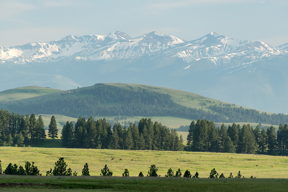 Elk herd on Oregon's Zumwalt Prairie.