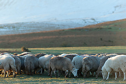© Licensed to London News Pictures. 16/02/2016. Hay Bluff - Brecon Beacons National Park, Powys, Wales, UK. Sheep eat feed brought by the farmer at sunrise at Hay Bluff - near Hay-on-Wye - in the Eastern sector of the Brecon Beacons (The Black Mountains) in Powys, Wales, UK. Snow which fell a week ago still lies on the summits of the Brecon Beacons. Temperatures this morning are several degrees centigrade below zero but with the moderate wind the 'feels like' temperature is around minus 5 - 8 degrees centigrade. Photo credit: Graham M. Lawrence/LNP