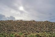 Nederland, Kekerdom, 2-10-2019 Grote stapel, berg, suikerbieten ligt op het land tijdens de suikerbietencampagne. Foto: Flip Franssen