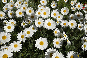 Large daisies on 20th April 2020 in Birmingham, England, United Kingdom. Daisies belong to the daisy Compositae family, known as Asteraceae. The origin of the word Daisy is the Anglo Saxon daes eage which literally mean day's eye. It was called this because daisies open at dawn as the day just starts to begin.