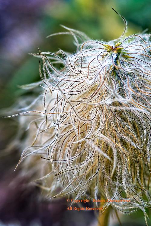 Treeline Seeds: A macro view of a plant gone to seed, Mount Rainer National Park, Washington USA.